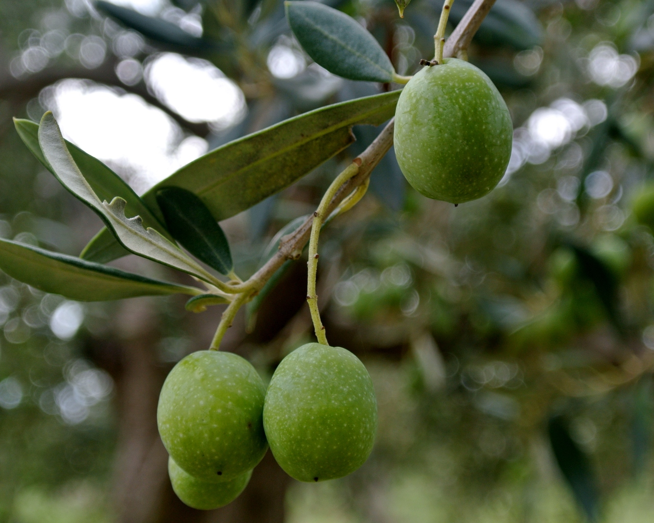 close up of green olives hanging on a tree